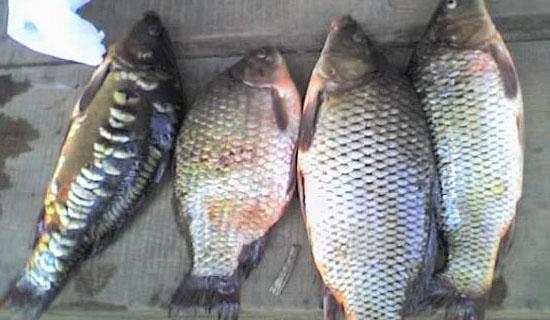овес прикормка для рыбалки как готовить