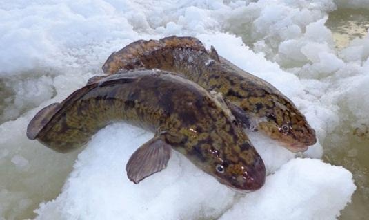 На что ловить налима зимой