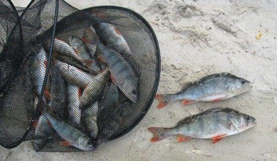 прикормка для окуня летом на реке