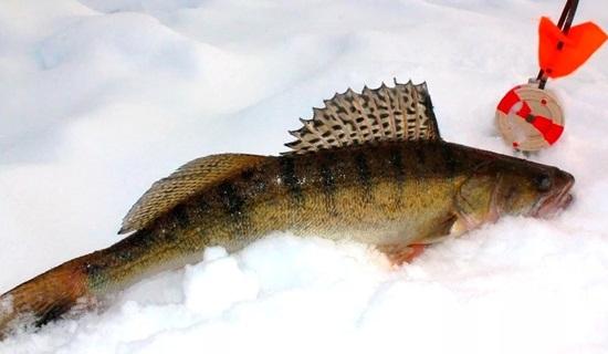 Где ловить судака зимой на жерлицы
