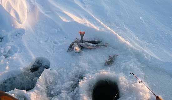 Зимний окунь на течении
