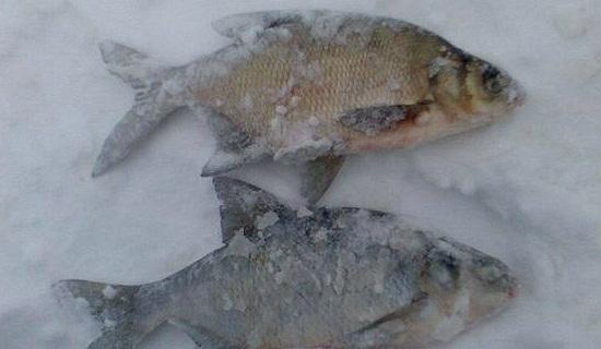 Ловля леща зимой без насадки