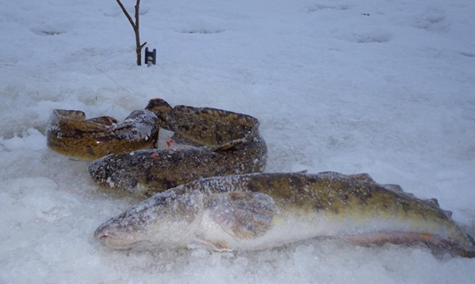 Ловля налима зимой на жерлицы